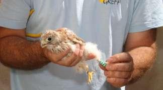 Quer anilla los polluelos de primilla nacidos en cautividad en 2018