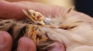 29 polluelos, de siete parejas, salen adelante en 2021 en el primillar de Quer