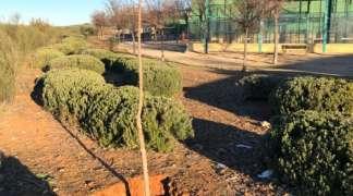 El Ayuntamiento de Quer ha plantado 200 árboles, con riego, en el último año
